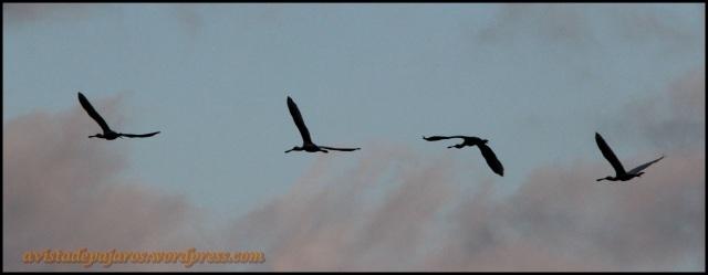 Espátulas en vuelo (11-9-2013)