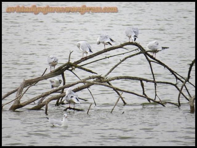 Varias gaviotas reidoras en un posadero en medio del agua (9-9-2013)