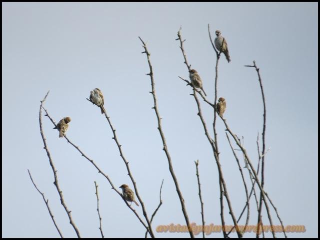 Grupo de gorriones molineros en un árbol (26-8-2013)