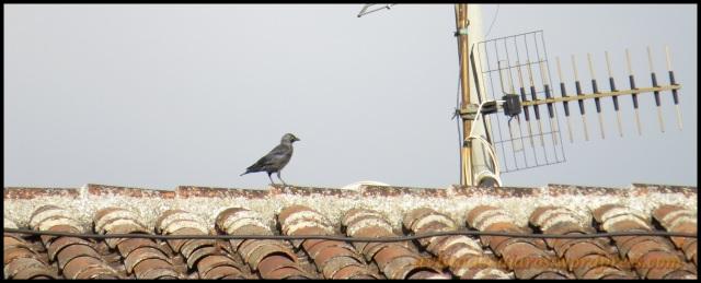 Grajilla caminando sobre un tejado (26-8-2013)