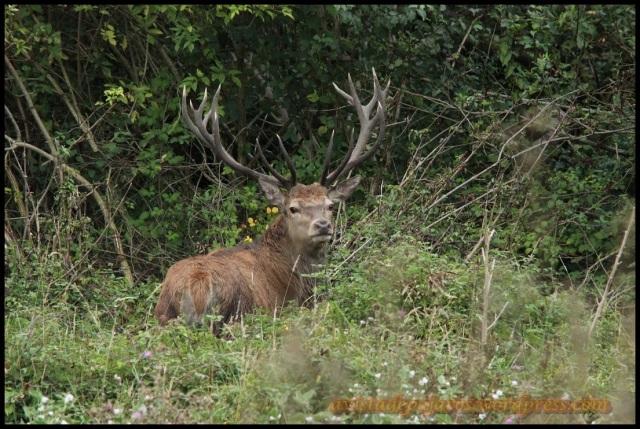 Macho de ciervo (10-9-2013)