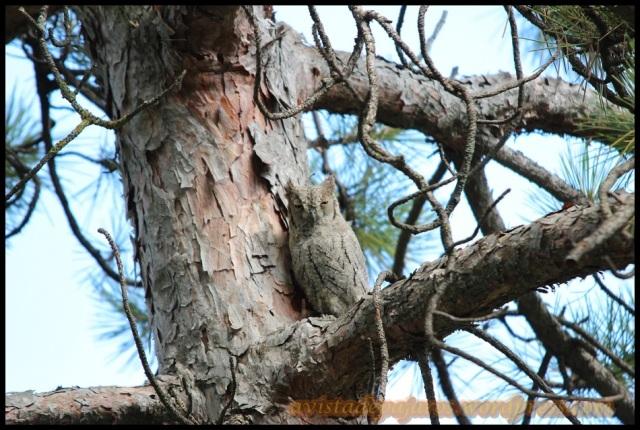 Autillo inmóvil pegado al tronco (27-8-2013)