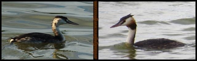 Somormujos; cría a la izquierda y adulto a la derecha (9-9-2013)