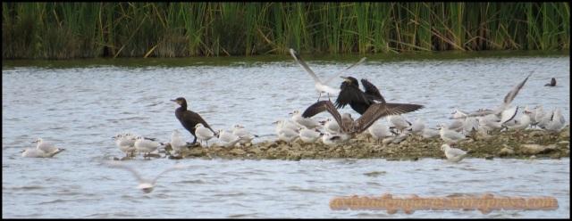Cormoranes entre gaviotas (10-9-2013)