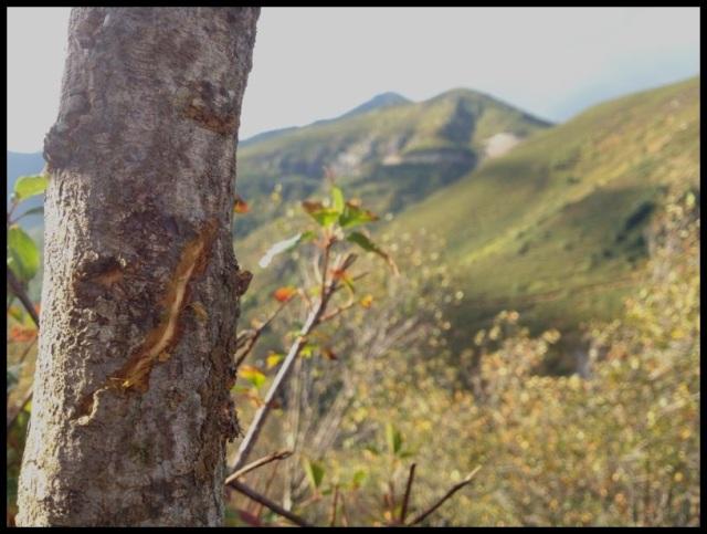 Arañazo en tronco; Julen Gayarre (26-9-2013)