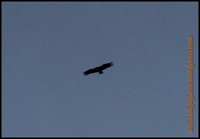 Buitre en vuelo (27-9-2013)