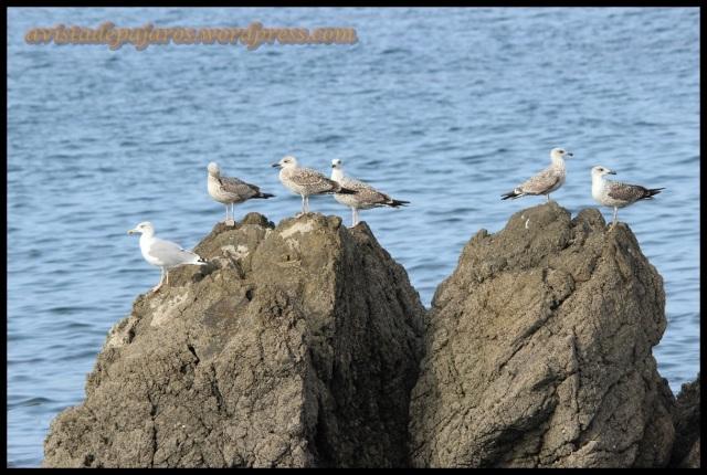 Gaviotas posadas en roca (13-10-2013)