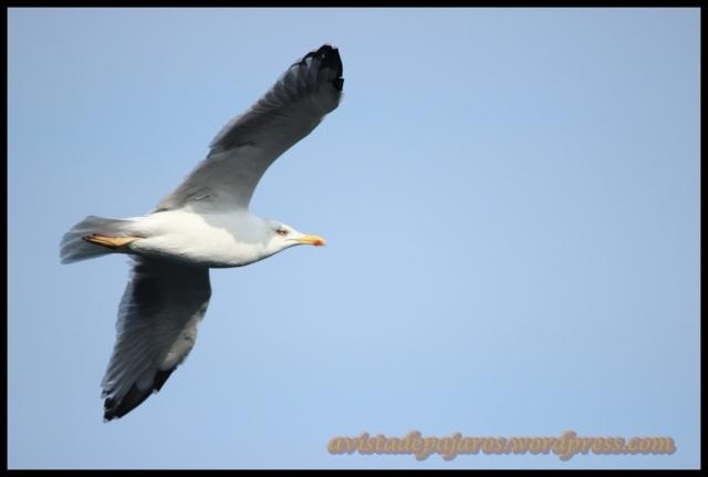Gaviota patiamarilla en vuelo (13-10-2013)