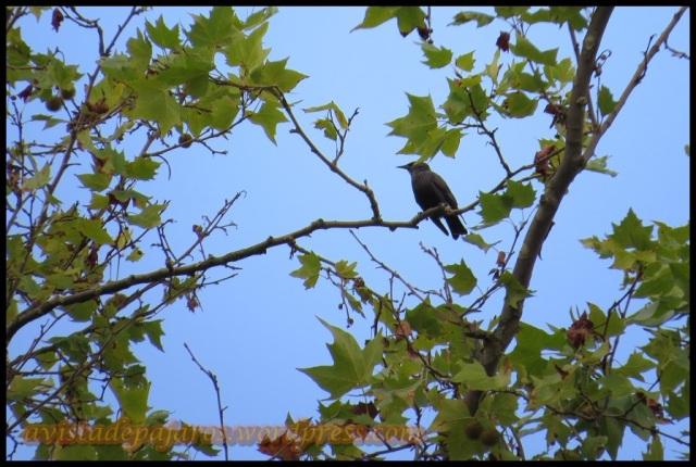 Estornino en lo alto de árbol (10-10-2013)