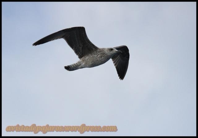 Gaviota en vuelo (13-10-2013)