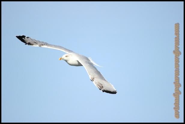 Patiamarilla adulta en vuelo (13-10-2013)