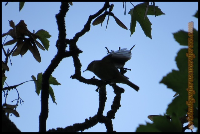 Silueta de mosquitero (10-10-2013)