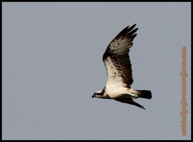 Águila pescadora en pleno vuelo (27-9-2013)