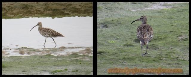 Zarapito común a la izquierda y trinador a la drecha (27-9-2013)