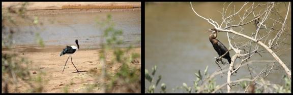 Jabirú a la izquierda y anhinga a la derecha (1-11-2013)