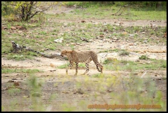 Primera imagen del guepardo (31-10-2013)