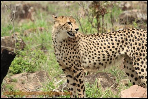 Atento mira un guepardo sus alrededores (31-10-2013)