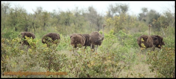 Grupo de avestruces (31-10-2013)