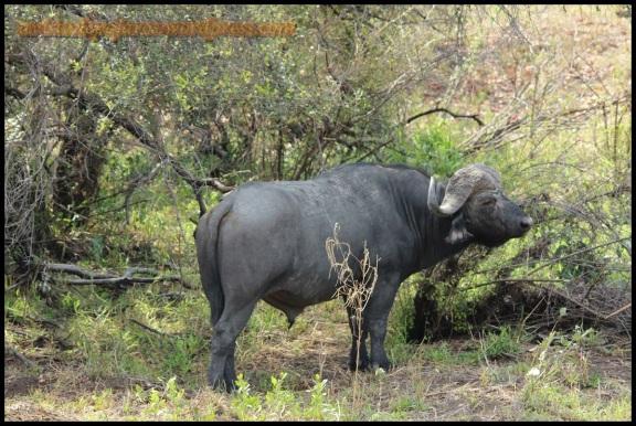 Uno de los búfalos (30-10-2013)