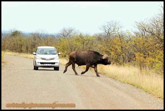 Búfalo cruzando la carretera (31-10-2013)