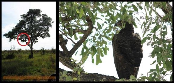 Águila entre la vegetación (1-11-2013)