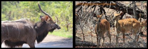 Nialas, macho a la izquierda y hembras a la derecha (30-10-2013)