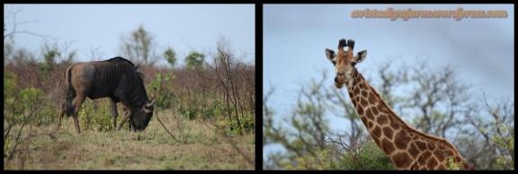 Nñu y jirafa (1-11-2013)