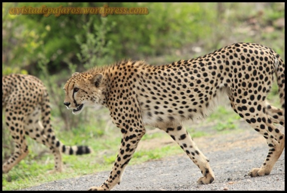 Guepardo caminando (31-10-2013)