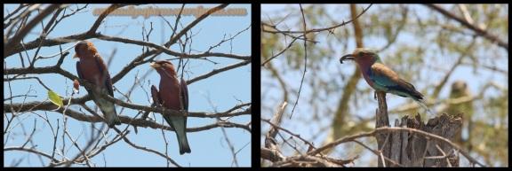Carraca coroniparda a la izquierda y lila a la derecha (30-10-2013)