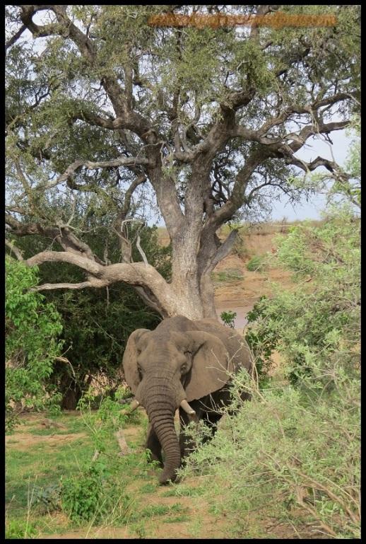Elefante (31-10-2013)