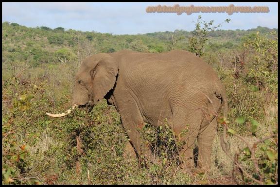 Elefante comiendo (30-10-2013)