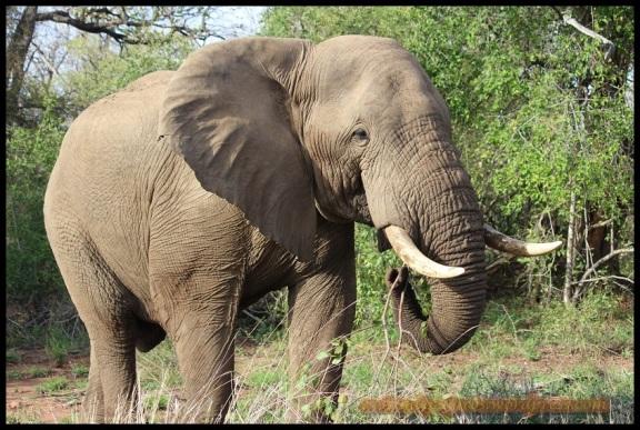Elefante de frente (30-10-2013)