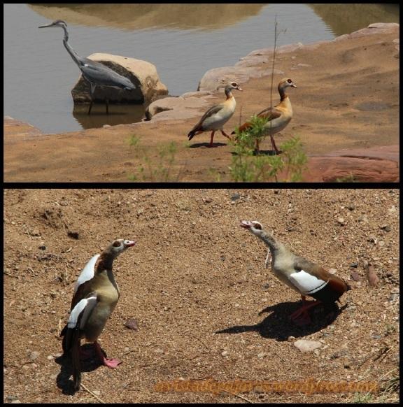 Garza y gansos del Nilo (1-11-2013)