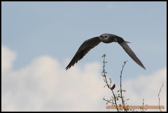 Elanio echando a volar (1-11-2013)