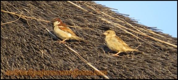 Gorriones comunes, macho y hembra (30-10-2013)