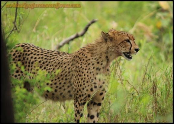 Uno de los dos guepardos (31-10-2013)
