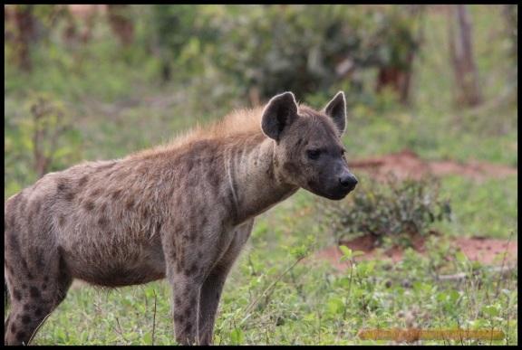 Detalle de la hiena (31-10-2013)