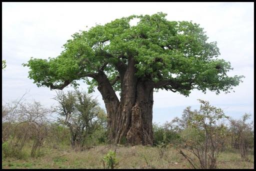 Los baobaps seguían reinando en la zona (31-10-2013)