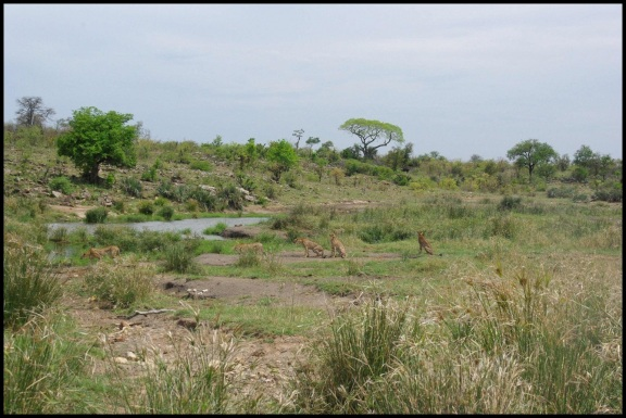 Los guepardos en el punto de agua; María Martínez (31-10-2013)