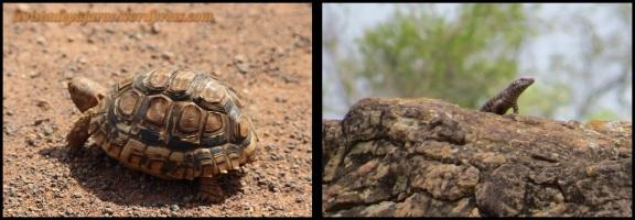 Tortuga y lagarto (31-10-2013)