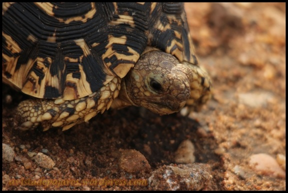 Tortuga leopardo (1-11-2013)