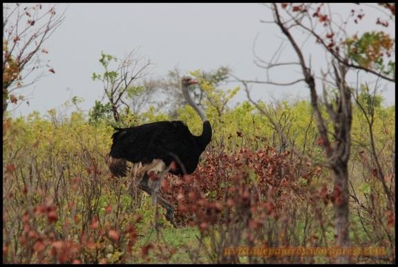 Macho de avestruz (31-10-2013)