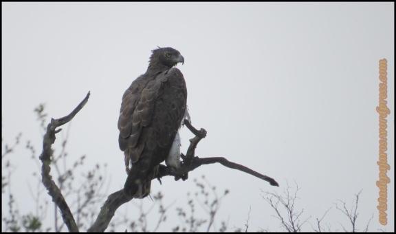 Águila marcial (30-10-2013)