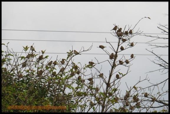 Gorriones molineros (14-11-2013)