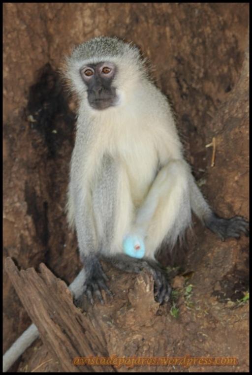 Mono verde (30-10-2013)