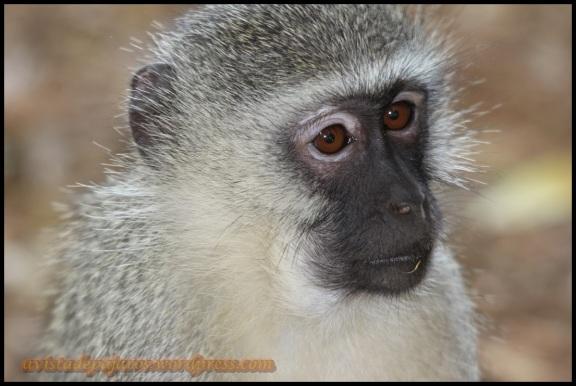 Retrato de mono verde (30-10-2013)