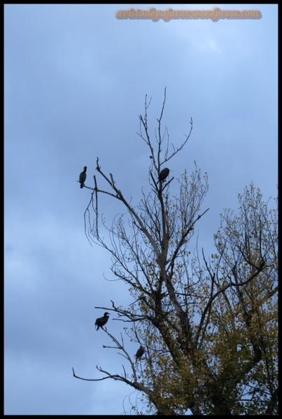 Cormoranes posados en árbol (14-11-2013)