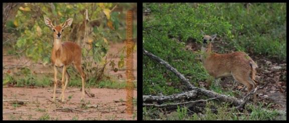 Raficero común a la izquierda y de Sharpe a la derecha (30-10-2013)