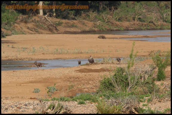 Río con nyalas (31-10-2013)