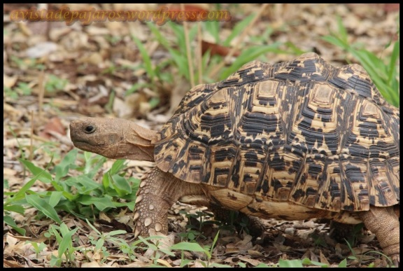 Tortuga leopardo (31-10-2013)